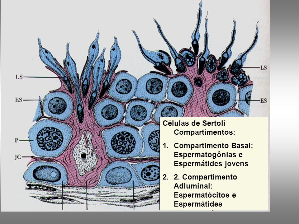 Túbulos Seminíferos Epitélio estratificado complexo –Células de Sertoli Cilíndricas, não proliferam –Núcleo ovóide, grande –Nucléolo evidente Prolonga