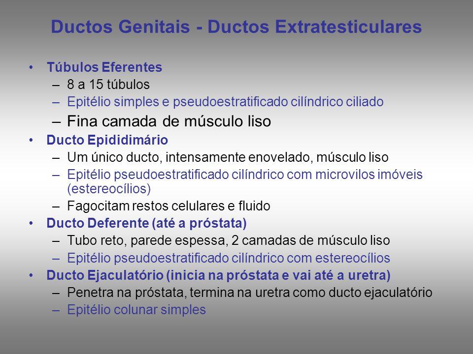 Ductos Genitais - Ductos Intratesticulares Túbulos Retos –Após os túbulos seminíferos, retos e curtos –Formados por: Células de Sertoli. Células epite