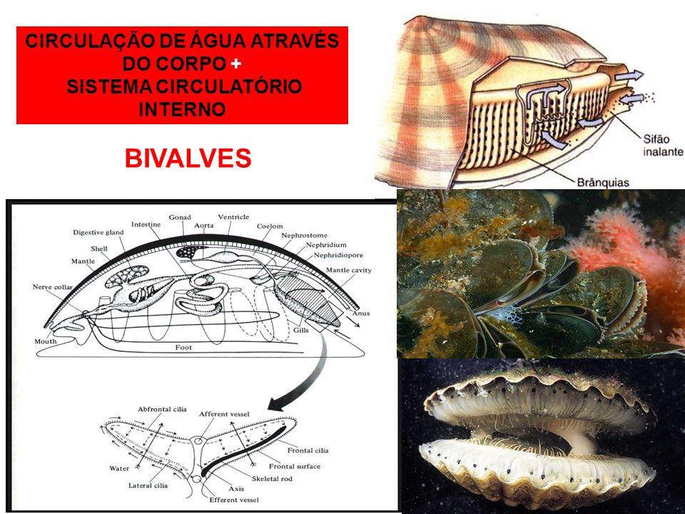 CIRCULAÇÃO DE ÁGUA ATRAVÉS DO CORPO + SISTEMA CIRCULATÓRIO INTERNO BIVALVES