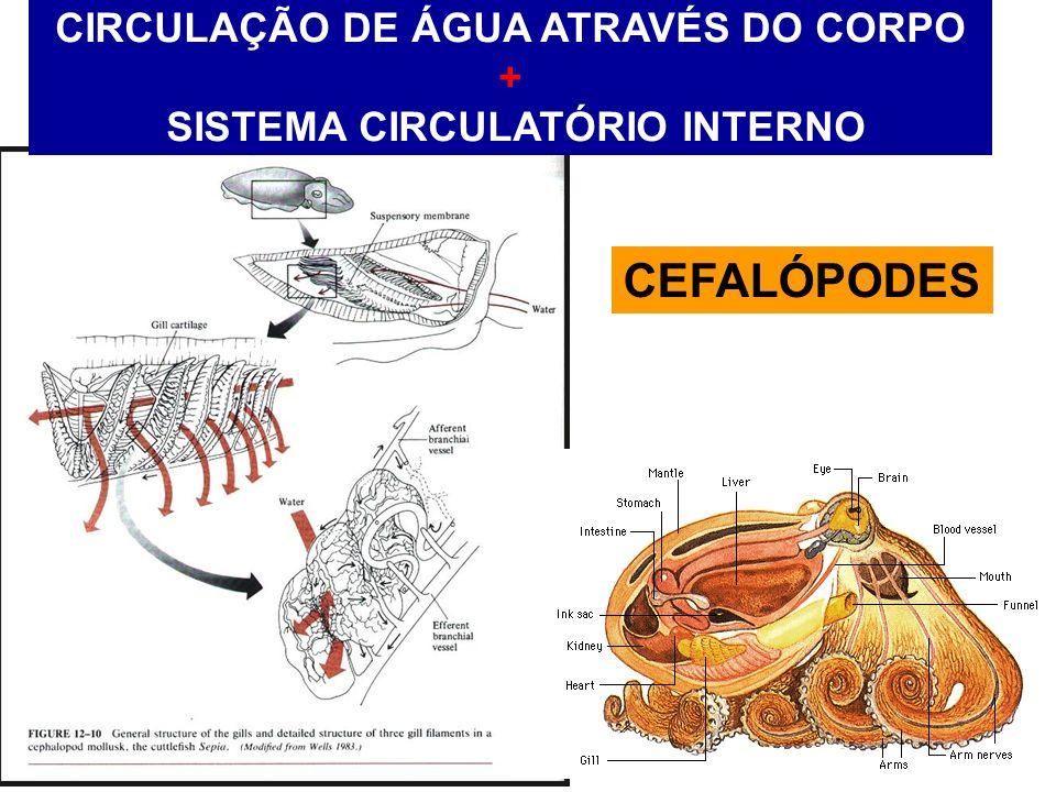 CIRCULAÇÃO DE ÁGUA ATRAVÉS DO CORPO + SISTEMA CIRCULATÓRIO INTERNO CEFALÓPODES