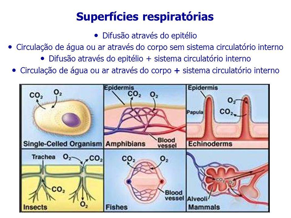 Superfícies respiratórias Difusão através do epitélio Circulação de água ou ar através do corpo sem sistema circulatório interno Difusão através do ep