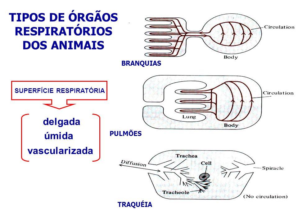 RESPIRAÇÃO NA ÁGUA Estratégias respiratórias Difusão através do epitélio Circulação de água através do corpo, sem sistema circulatório interno Difusão através do epitélio + sistema circulatório interno Circulação de água através do corpo + sistema circulatório interno