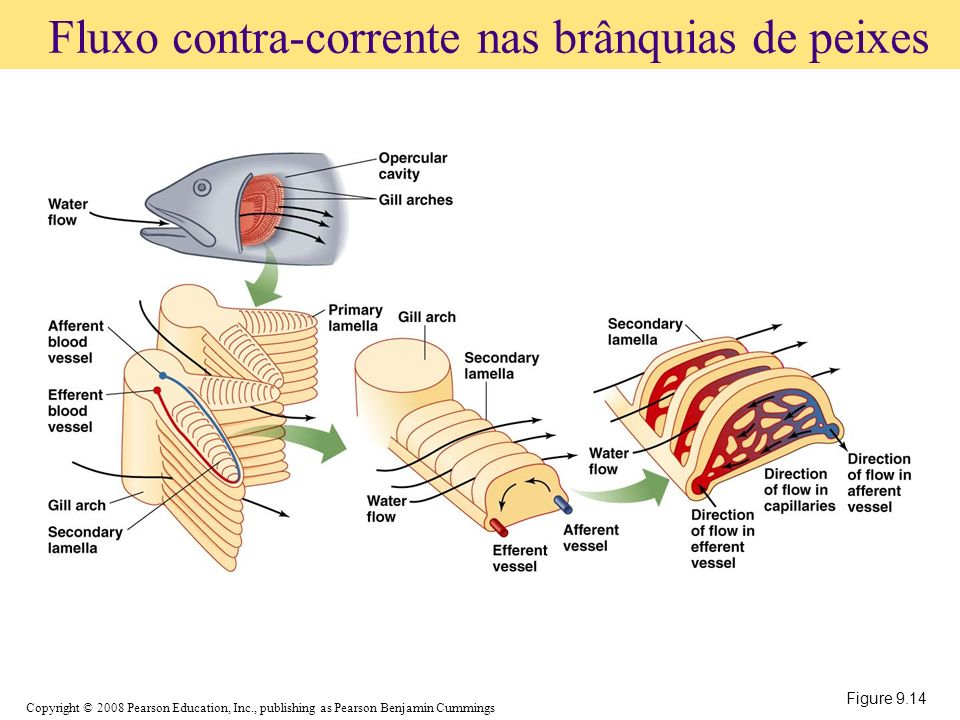 Copyright © 2008 Pearson Education, Inc., publishing as Pearson Benjamin Cummings Figure 9.14 Fluxo contra-corrente nas brânquias de peixes