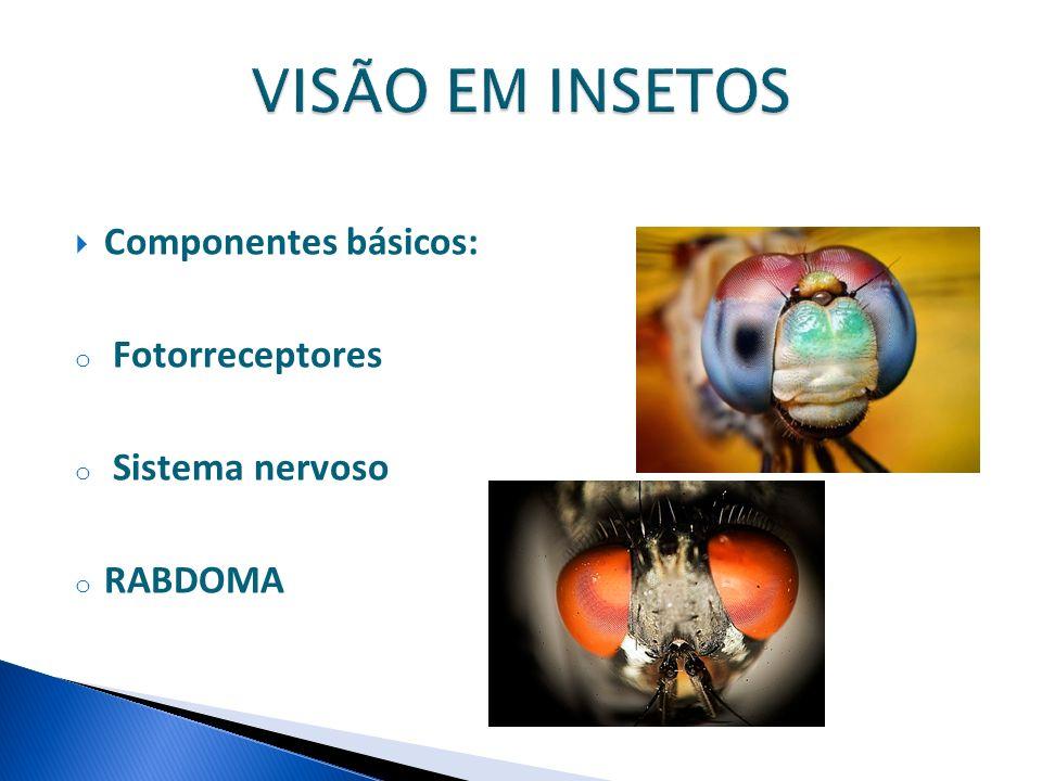 Componentes básicos: o Fotorreceptores o Sistema nervoso o RABDOMA