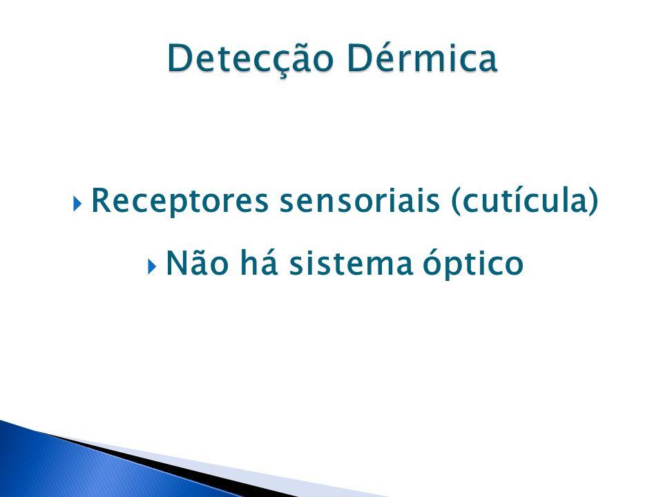 Receptores sensoriais (cutícula) Não há sistema óptico