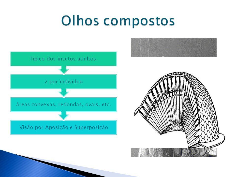 Visão por Aposição e Superposição áreas convexas, redondas, ovais, etc. 2 por indivíduo Típico dos insetos adultos.