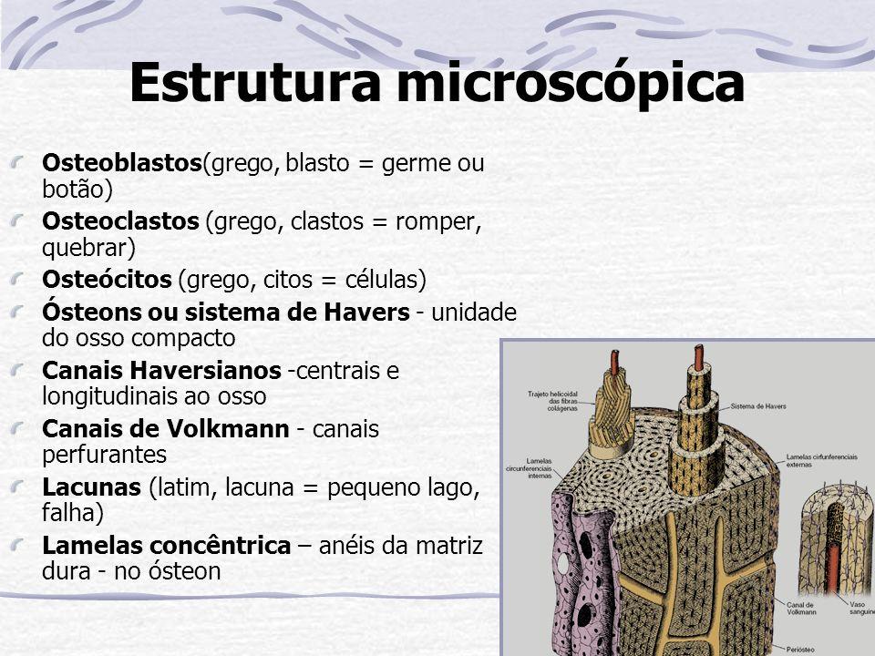 Estrutura microscópica Osteoblastos(grego, blasto = germe ou botão) Osteoclastos (grego, clastos = romper, quebrar) Osteócitos (grego, citos = células