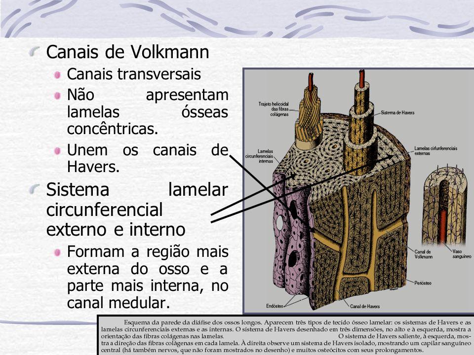 Canais de Volkmann Canais transversais Não apresentam lamelas ósseas concêntricas. Unem os canais de Havers. Sistema lamelar circunferencial externo e