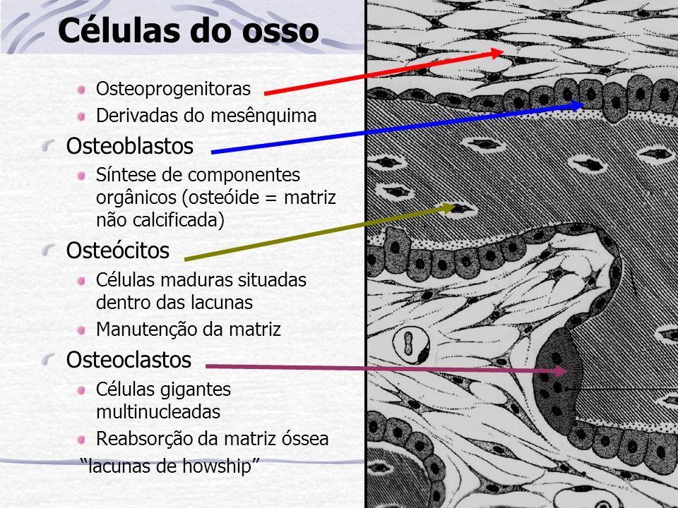 Células do osso Osteoprogenitoras Derivadas do mesênquima Osteoblastos Síntese de componentes orgânicos (osteóide = matriz não calcificada) Osteócitos