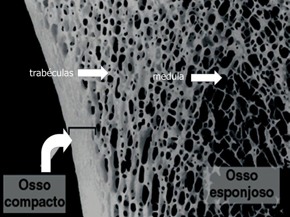 trabéculas medula