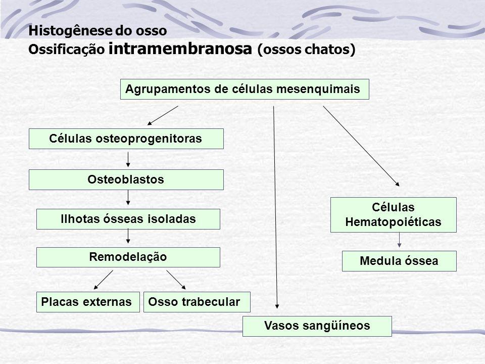Histogênese do osso Ossificação intramembranosa (ossos chatos) Agrupamentos de células mesenquimais Células osteoprogenitoras Osteoblastos Ilhotas óss