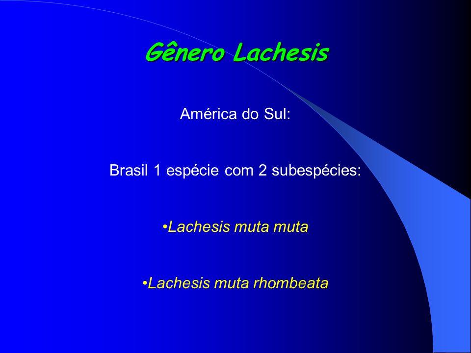 Gênero Lachesis América do Sul: Brasil 1 espécie com 2 subespécies: Lachesis muta muta Lachesis muta rhombeata