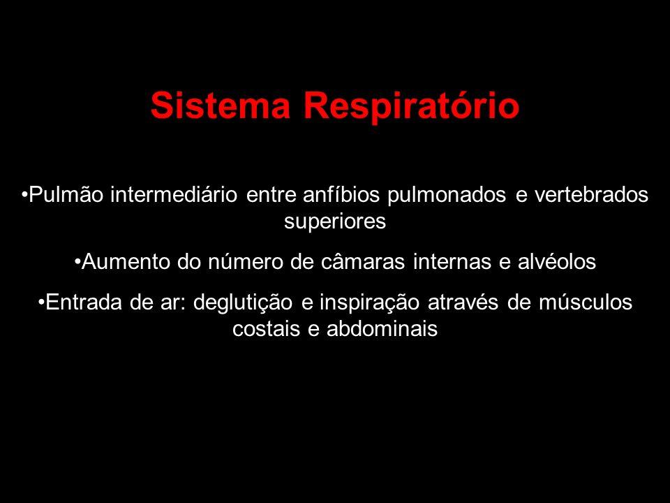 Sistema Respiratório Pulmão intermediário entre anfíbios pulmonados e vertebrados superiores Aumento do número de câmaras internas e alvéolos Entrada