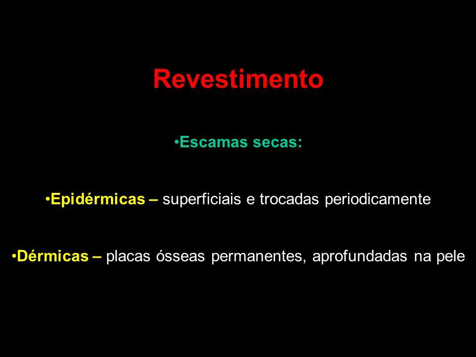 Revestimento Escamas secas: Epidérmicas – superficiais e trocadas periodicamente Dérmicas – placas ósseas permanentes, aprofundadas na pele