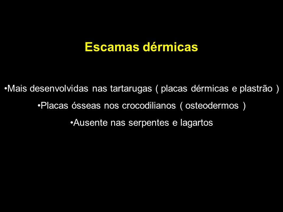 Escamas dérmicas Mais desenvolvidas nas tartarugas ( placas dérmicas e plastrão ) Placas ósseas nos crocodilianos ( osteodermos ) Ausente nas serpente