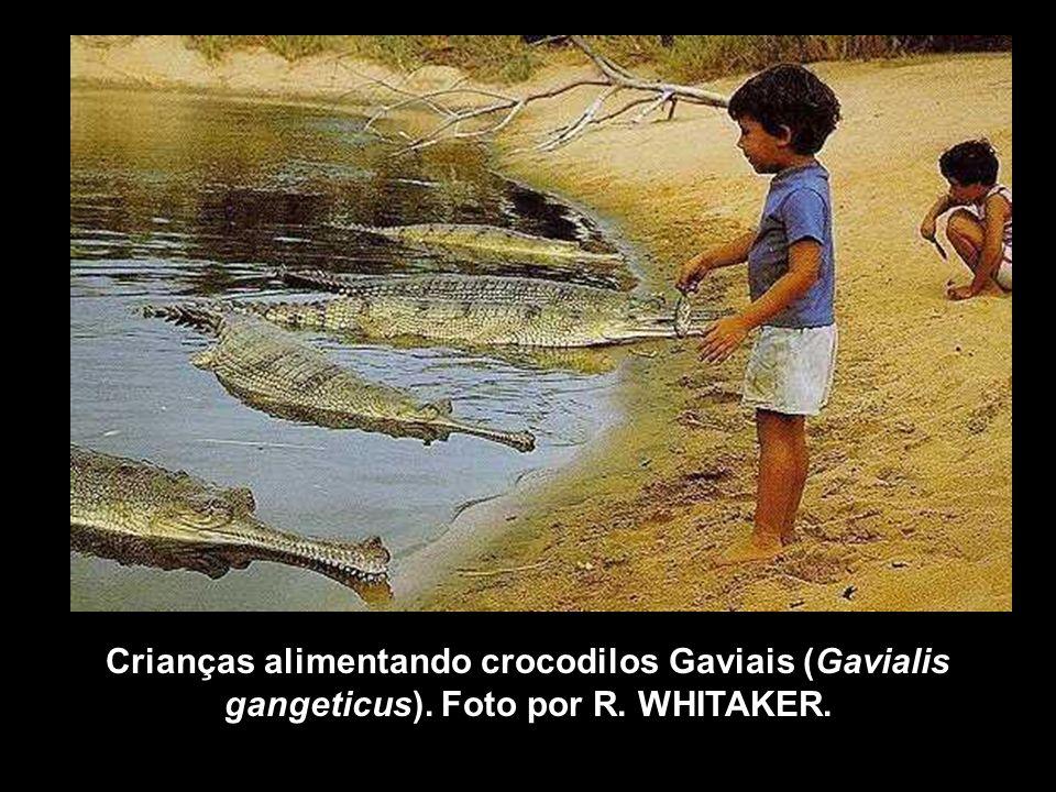 Crianças alimentando crocodilos Gaviais (Gavialis gangeticus). Foto por R. WHITAKER.