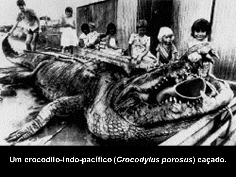 Um crocodilo-indo-pacífico (Crocodylus porosus) caçado.