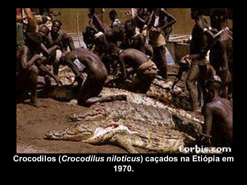 Crocodilos (Crocodilus niloticus) caçados na Etiópia em 1970.
