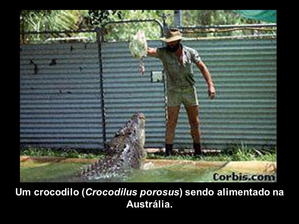Um crocodilo (Crocodilus porosus) sendo alimentado na Austrália.