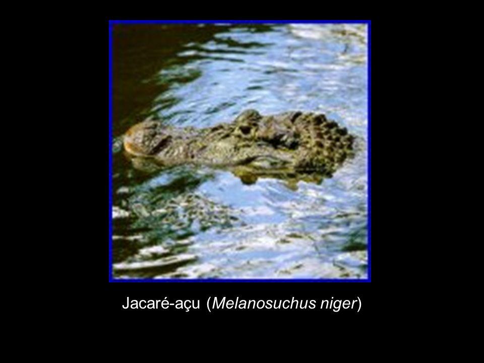 Jacaré-açu (Melanosuchus niger)