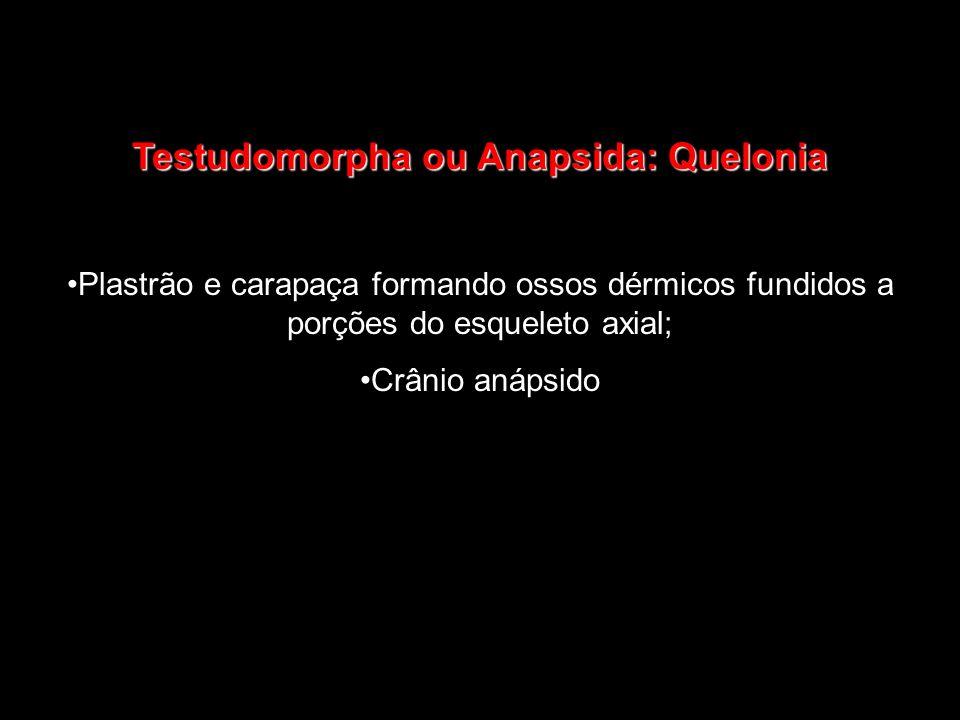 Testudomorpha ou Anapsida: Quelonia Plastrão e carapaça formando ossos dérmicos fundidos a porções do esqueleto axial; Crânio anápsido