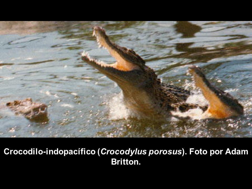 Crocodilo-indopacífico (Crocodylus porosus). Foto por Adam Britton.