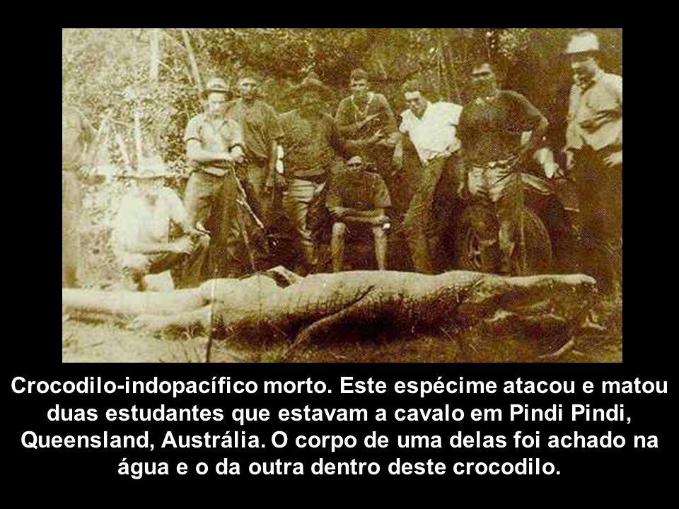 Crocodilo-indopacífico morto. Este espécime atacou e matou duas estudantes que estavam a cavalo em Pindi Pindi, Queensland, Austrália. O corpo de uma