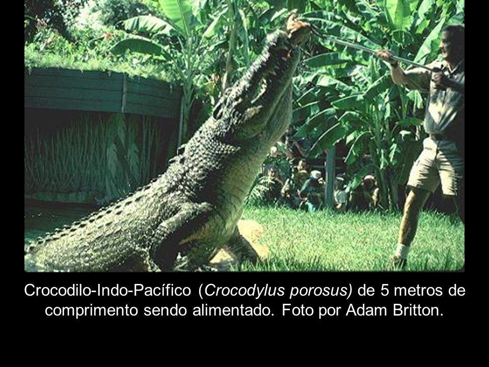 Crocodilo-Indo-Pacífico (Crocodylus porosus) de 5 metros de comprimento sendo alimentado. Foto por Adam Britton.
