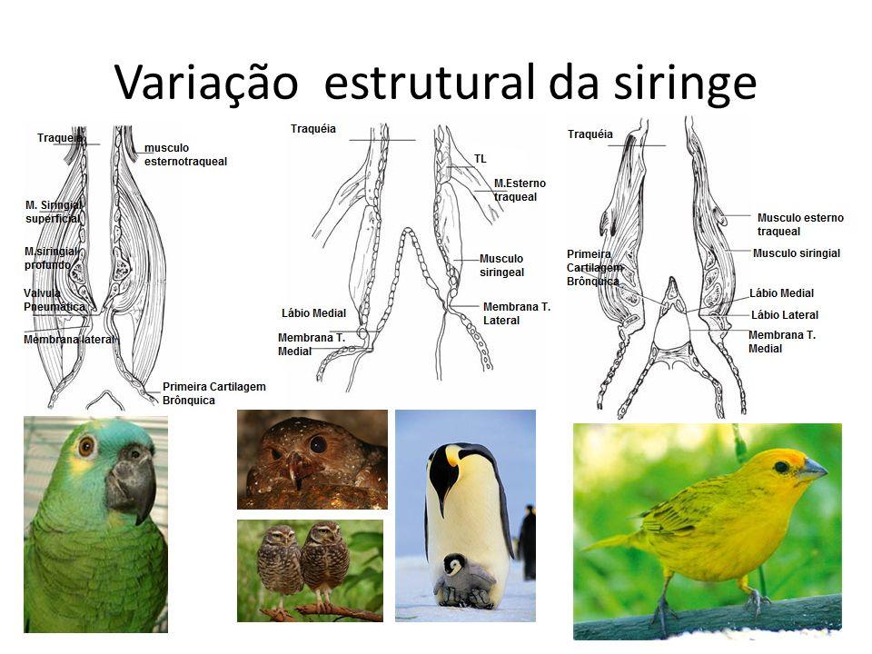 Variação estrutural da siringe