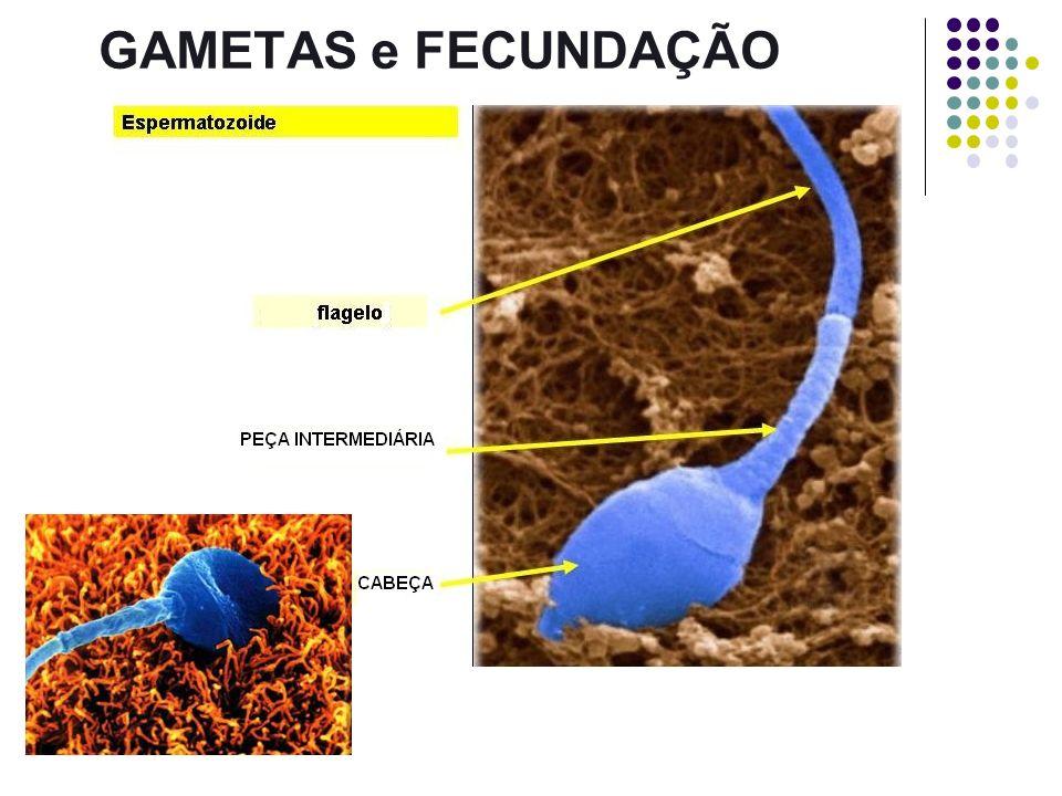 ESTRUTURA DO ESPERMATOZÓIDE