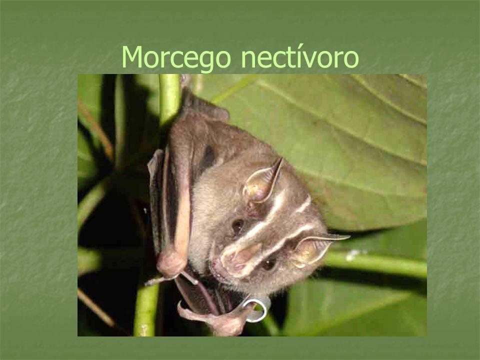 Morcego nectívoro