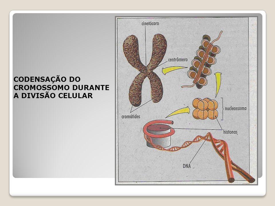 CROMATINA ESTRUTURA DO DNA NÃO CONDENSADO