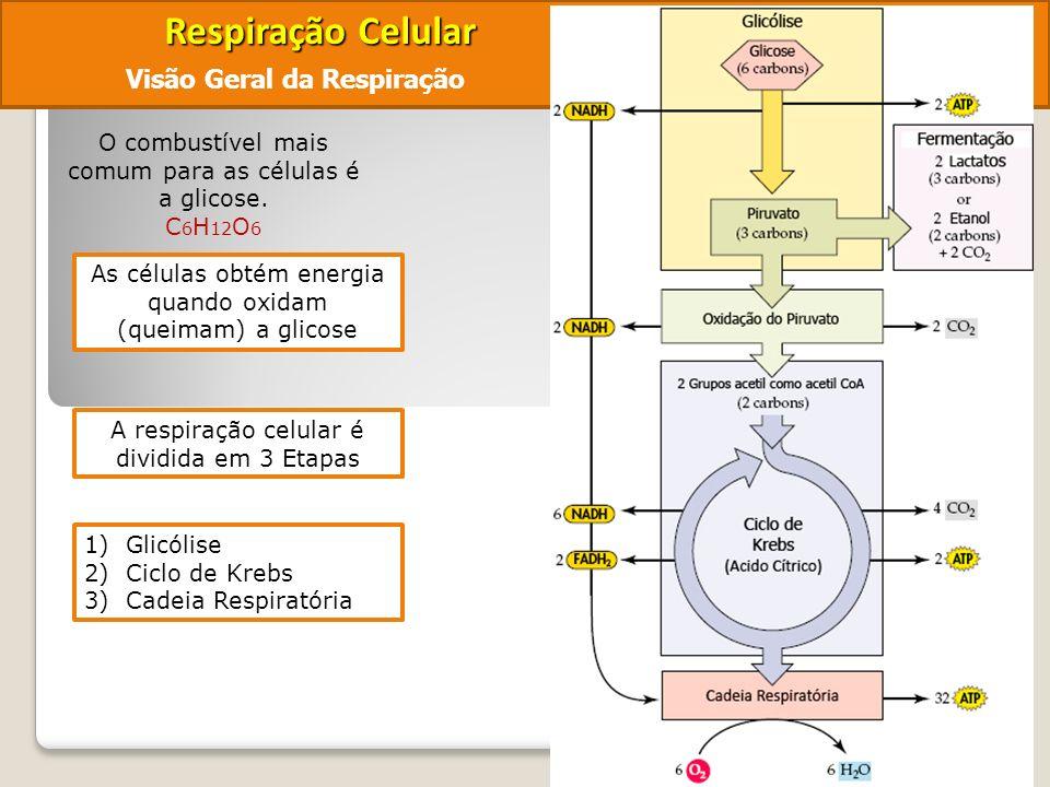 Respiração Celular Visão Geral da Respiração O combustível mais comum para as células é a glicose.