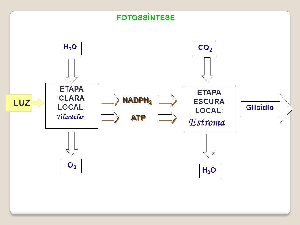 FOTOSSÍNTESE H2OH2O ETAPA CLARA LOCAL: H2OH2O O 2 ETAPA ESCURA LOCAL: NADPH 2 ATP Tilacóides Estroma Glicídio CO 2 LUZ