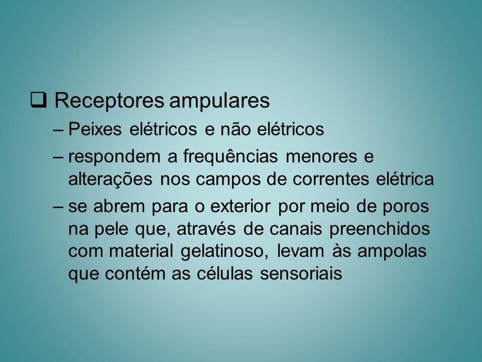 Receptores ampulares –Peixes elétricos e não elétricos –respondem a frequências menores e alterações nos campos de correntes elétrica –se abrem para o