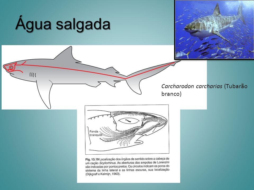 Água salgada Carcharodon carcharias (Tubarão branco)
