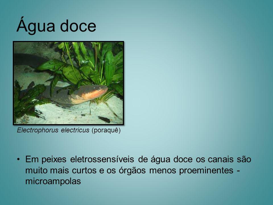 Água doce Electrophorus electricus (poraquê) Em peixes eletrossensíveis de água doce os canais são muito mais curtos e os órgãos menos proeminentes -