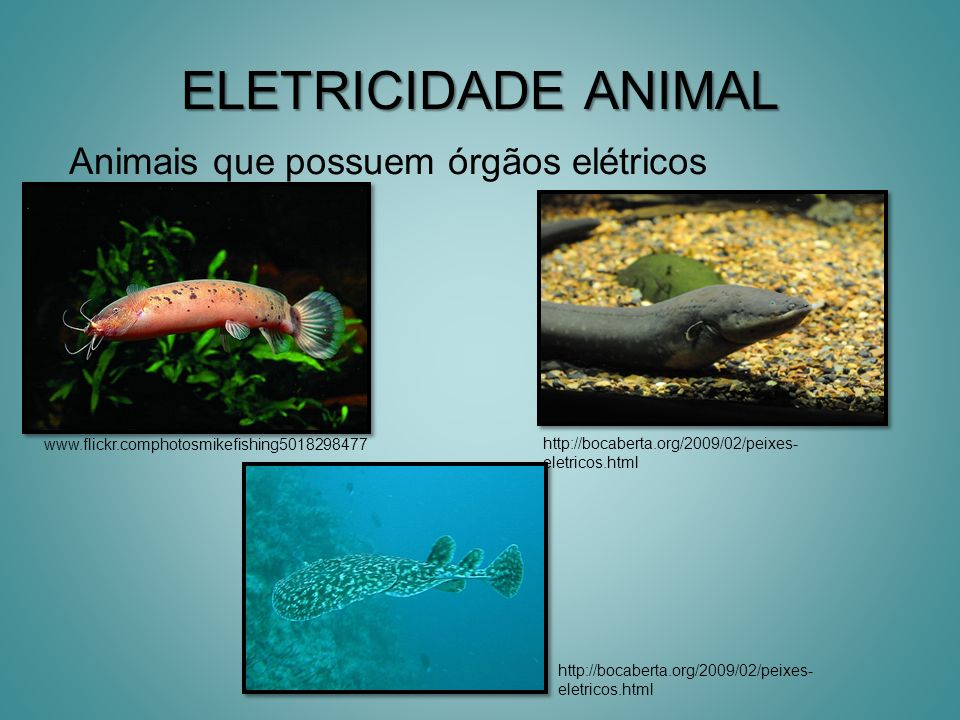 ELETRICIDADE ANIMAL Animais que possuem órgãos elétricos www.flickr.comphotosmikefishing5018298477 http://bocaberta.org/2009/02/peixes- eletricos.html