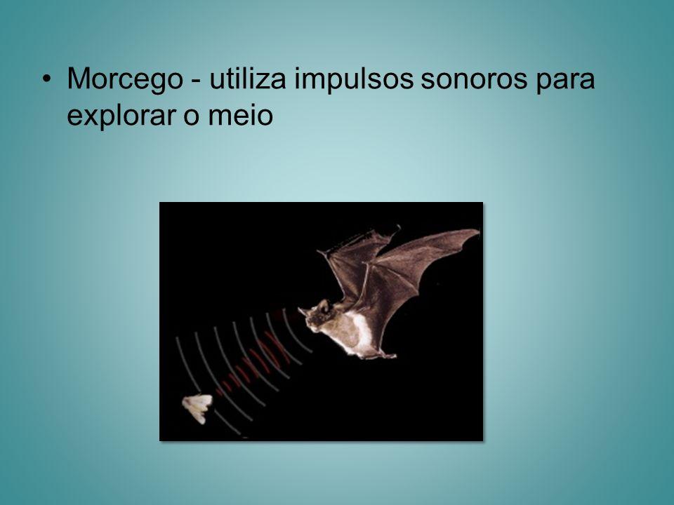 Morcego - utiliza impulsos sonoros para explorar o meio