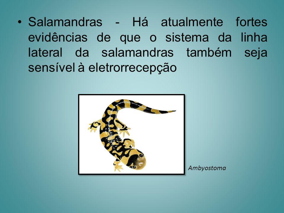 Salamandras - Há atualmente fortes evidências de que o sistema da linha lateral da salamandras também seja sensível à eletrorrecepção Ambyostoma