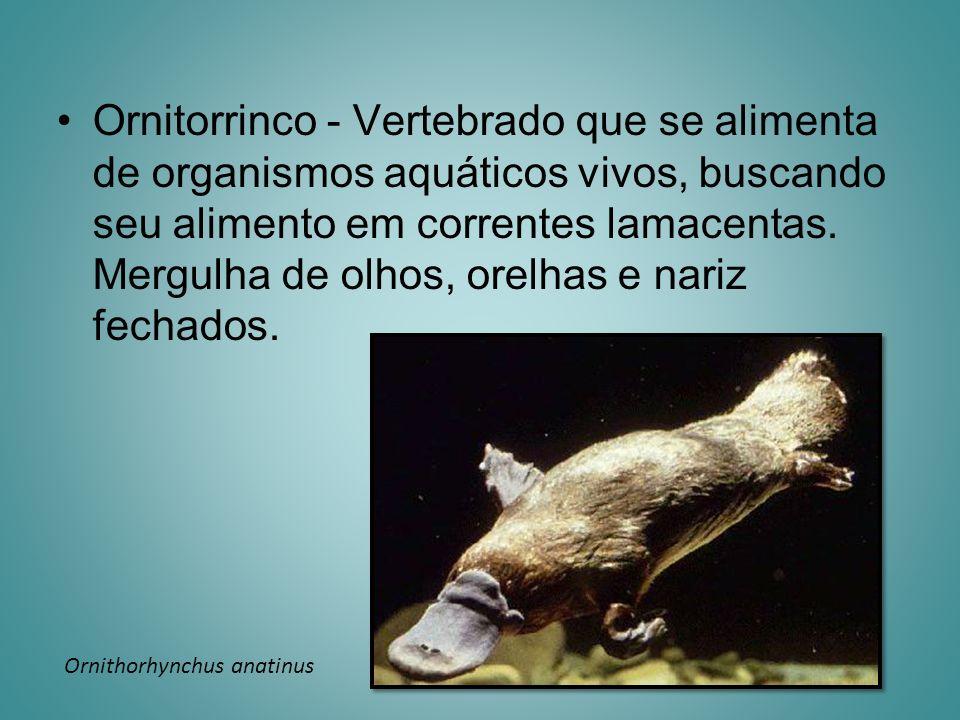 Ornitorrinco - Vertebrado que se alimenta de organismos aquáticos vivos, buscando seu alimento em correntes lamacentas. Mergulha de olhos, orelhas e n
