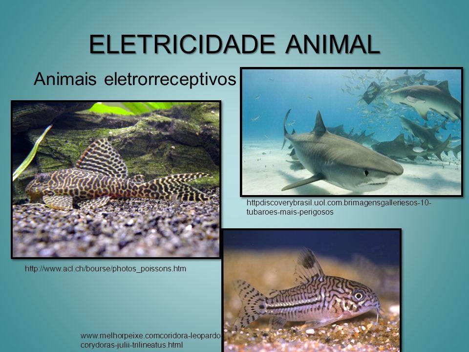 GYMNOTIDAE Electrophorus enguia-elétrica ou poraquê ; maior gimnotóide; único capaz de produzir descargas elétricas de alta voltagem; possui também órgãos elétricos de baixa voltagem; freqüência baixa ( 20 pulsos por segundo); E.