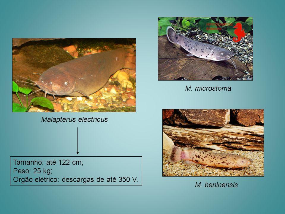 Malapterus electricus M. microstoma Tamanho: até 122 cm; Peso: 25 kg; Orgão elétrico: descargas de até 350 V. M. beninensis