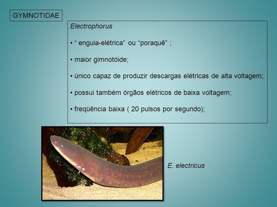 GYMNOTIDAE Electrophorus enguia-elétrica ou poraquê ; maior gimnotóide; único capaz de produzir descargas elétricas de alta voltagem; possui também ór