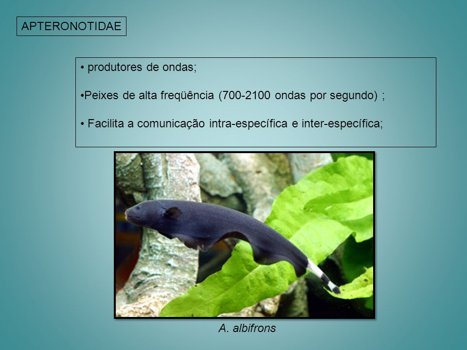 APTERONOTIDAE produtores de ondas; Peixes de alta freqüência (700-2100 ondas por segundo) ; Facilita a comunicação intra-específica e inter-específica