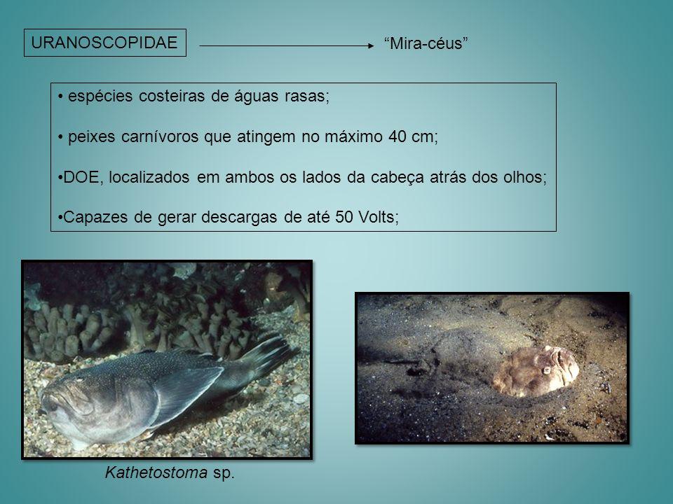URANOSCOPIDAE Mira-céus Kathetostoma sp. espécies costeiras de águas rasas; peixes carnívoros que atingem no máximo 40 cm; DOE, localizados em ambos o