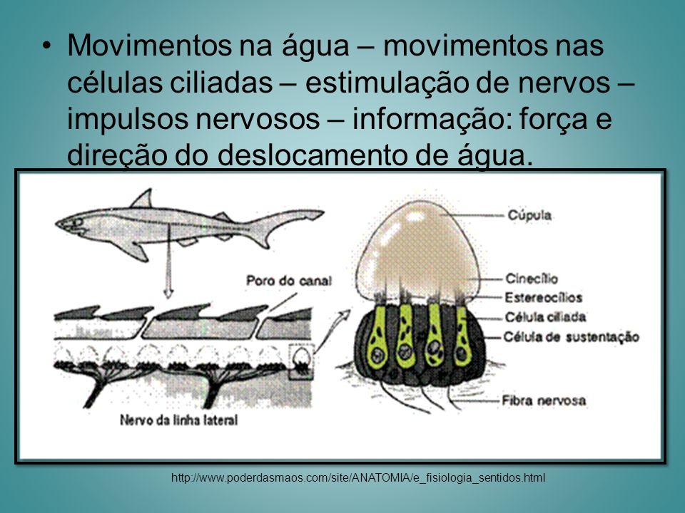 Movimentos na água – movimentos nas células ciliadas – estimulação de nervos – impulsos nervosos – informação: força e direção do deslocamento de água