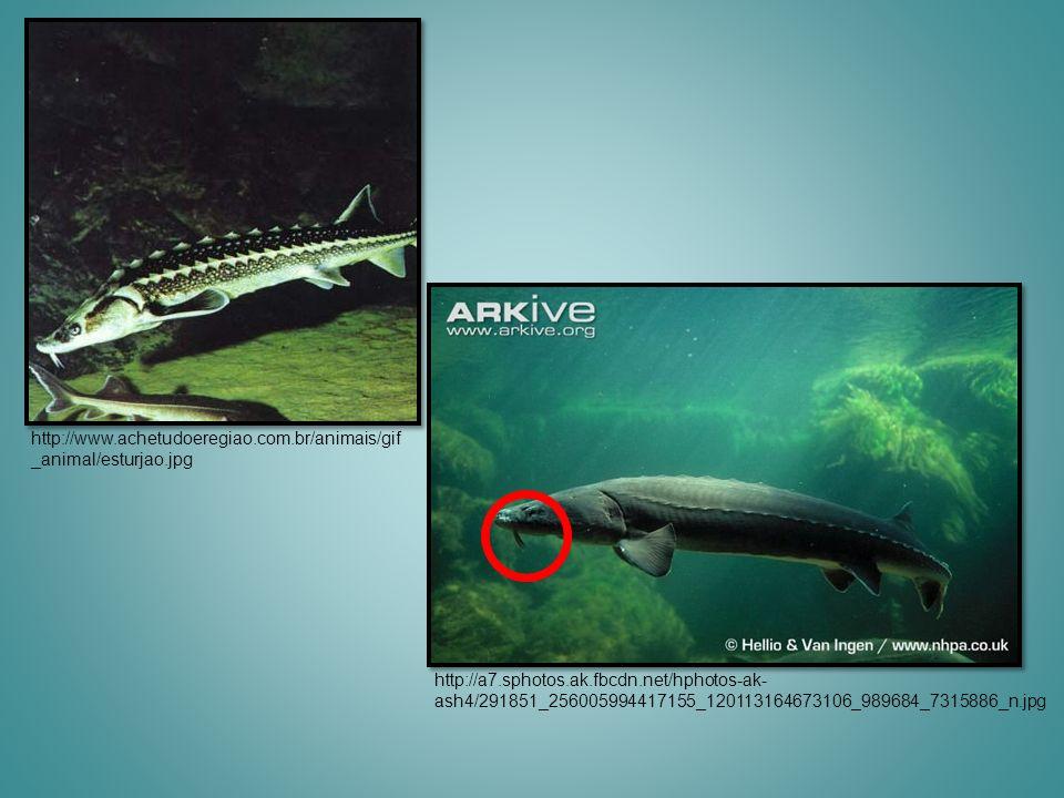 http://www.achetudoeregiao.com.br/animais/gif _animal/esturjao.jpg http://a7.sphotos.ak.fbcdn.net/hphotos-ak- ash4/291851_256005994417155_120113164673