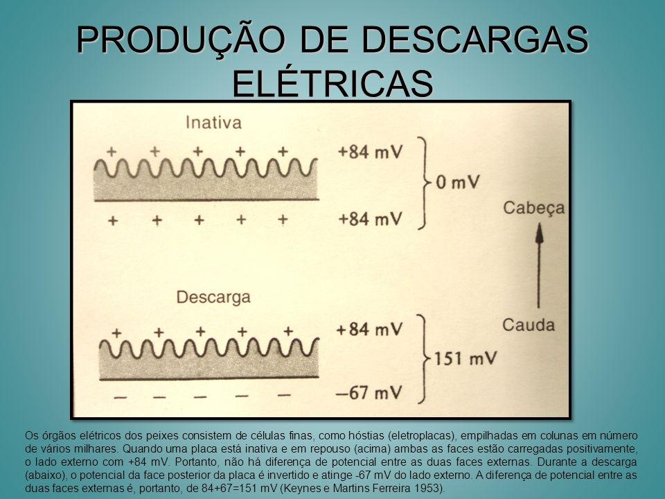 PRODUÇÃO DE DESCARGAS ELÉTRICAS Os órgãos elétricos dos peixes consistem de células finas, como hóstias (eletroplacas), empilhadas em colunas em númer