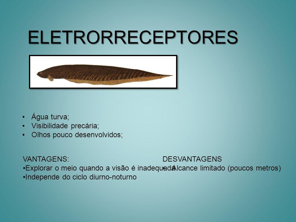 Peixes com sexto sentido Raias: deslizam sobre o substrato com receptores em suas barbatanas, identificando animais enterrados.